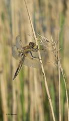 Heidelibelle / Sympetrum (m.ritmeester) Tags: ngc naturelovers natuur nederland zuidholland bruin groen geel heidelibel