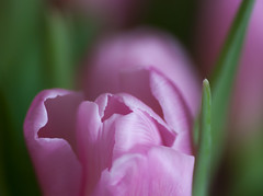 soft (pt. 2) (marinachi) Tags: tulip green pink flowers petals macro closeup cof037mari cof037 cof035dmnq cof037hole cof037ally cof037cher