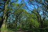 Cathedrals of Spring (worldthroughalens74) Tags: trees green blue sky path walking nature outdoors uk england staffs canon sigma woodland beech birch oak scenicsnotjustlandscapes