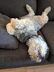 Try to relax, would ya? (jmaxtours) Tags: apollo apollochillin schnauzer miniatureschnauzer dog pet couch relaxing comfortable