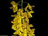 Laburnum × watereri - Goldregen (J.Weyerhäuser) Tags: goldregen blüte studio tropfen blitz gelb
