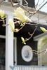Spring (Z!SL) Tags: blossom spring urbannature a6300 ilce6300 sonyphotographing sony sonyflickraward minoltaemount emount mirrorless bokeh brooklyn newyorkcity newyork nyc ny unitedstates depthoffield dof ditmaspark street