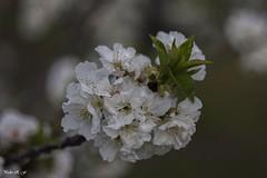 Flor del cerezo (pedroramfra91) Tags: naturaleza nature primavera spring flores flowers exteriores outdoors bokeh