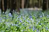 2018 - Day 126:  day of the bluebells (Mark.Swanson) Tags: bluebells virginiabluebell mertensiaviginica merwinpreserve lexington illinois mcleancounty parklandsfoundation
