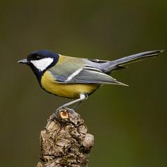 Great tit (Lt_Dan) Tags: greattit cinciallegre canon600d canon400f56lusm alpago belluno veneto italia italy wildlife uccello uccelli bird birdphotogrphy perch