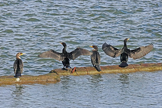 Double-crested Cormorants 18-0218-4830