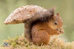 umbrella feeling (Geert Weggen) Tags: squirrel mammal animal nature rodent mushroom plant toadstool moss red look ground geert weggen hardeko sweden jämtland ragunda bispgården