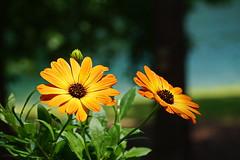 'Cape Daisy' (Jim Atkins Sr) Tags: osteospermum africandaisy capedaisy flower northcarolina fairfieldharbour closeup sony sonyphotographing sonya58