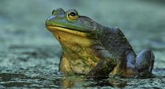 chillin (don.white55 That's wild...) Tags: americanbullfroglithobatescatesbeianus thatswildnaturephotography donwhite canoneos70d canoneos70dtamronsp150600mmf563divcusda011 tamronsp150600mmf563divcusda011 tamron150600mm 150600mm frog amphibian marsh swamp eye eyeball closeup wildwoodlake wildwoodpark wildlife nature froglips 100faves
