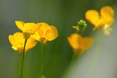 Flickr Friday:  #LowAngle (Hayseed52) Tags: flickrfriday lowangle flowers buttercups yellow nature summer lookup