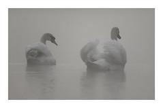 Ambiance brouillard ce matin... (db_copyright photography) Tags: pontàmousson birds oiseaux nature brouillard cygnes billebaude ngc