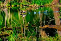 Startbahn (M_Nix) Tags: nrw düsseldorf urdenbach kempen rhein überschwemmungsgebiet ufer wasser bäume vögel