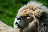 Lions Blancs (GL Showa) Tags: zoojurques lion lionne félin