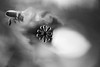 surreal flight (alestaleiro) Tags: bee abstract flower flor mono monochrome monocromo action insect abeja fiore blurred movimiento movment movimento move fly vuelo surreal bw bianconero ação võo goal alvo natura naturaleza nature natureza alestaleiro macro