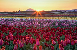 Sunrise at wooden shoe tulip farm
