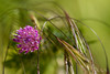 Révérence...! - Reverence...! (minelflojor) Tags: fleur sauvage herbe fushia flou courbe épi macro bokeh wild flower grass blur curve spike tamronsp90mmf28dimacro11vcusd