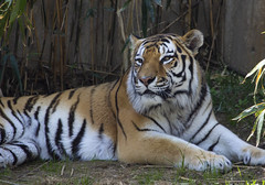 National Zoo 3 May 2018  (588) Tiger (smata2) Tags: tiger tigre flickrbigcats bigcats smithsoniannationalzoo zoo zoosofnorthamerica itsazoooutthere animals zoocritters