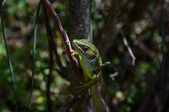 Portrait (Milos Golubovic) Tags: lizard macro zoom branch green nikon d7100 sigma 1770mm srbija serbia nis