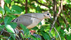 Mourning Dove (Suzanham) Tags: mourningdove dove bird nature wildlife mississippi wild columbidae raindove zenaidadoves