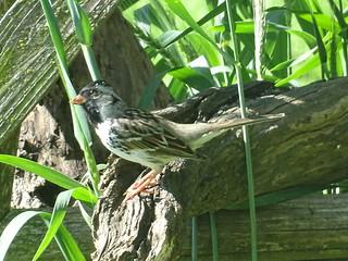 Leucistic White Crowned Sparrow