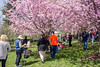 Buffalo Cherry Blossom Festival Part 1 | Japanese Garden | May 5, 2018 (ourbfloparks) Tags: olmsted150 japanese garden buffalo bfloparks buffalony olmsted fredericklawolmsted buffalohistory buffalove buffaloniagara travelbuf buffalonewyork westernnewyork wny cherryblossoms trees family friends