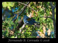 Northern Parula (7093) (fbc57) Tags: nikond850 sigma150600dgoshsmsport vermont birds greenwoodcemetery bristol northernparula setophagaamericana warblers woodwarblers