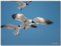 Laughing Gull (Betty Vlasiu) Tags: laughing gull leucophaeus atricilla bird nature wildlife florida