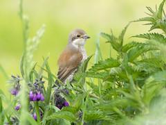 P5170249 (turbok) Tags: neuntöterlaniuscollurio tiere vögel wildtiere c kurt krimberger