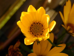 (Landanna) Tags: yellow geel gul bloem blomst flower margarita eveninglight