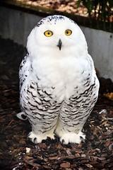 Alert Snowy.. (mickb6265) Tags: hamertonzoopark hamerton cambridge sawtry snowyowl