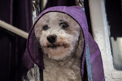 Religious dog (Phototravelography) Tags: andalucia andalusien cádiz hund nonne schnauze spain spanien white balcony convent cover curtain dog eyes fur hat lila lilac nonnery nose nun nunnery purple window pet
