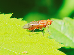 spectacularly coloured fly (Bill Kirby1) Tags: warnham lnr horsham west sussex insect fly