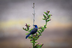 Project 52: Week 20 (Stacey Conrad) Tags: d7500 nikon pa summerfield willowstreet bird tree commongrackle