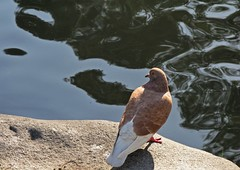 Oniric (carlos_ar2000) Tags: paloma pigeon dove ave pajaro bird naturaleza nature animal rio river reflejo reflected reflection distorsion distortion onda wave buenosaires argentina