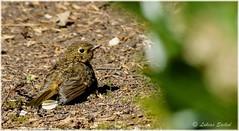 Fresher Ia (lukiassaikul) Tags: wildlifephotography wildanimals wildbirds gardenbirds urbanwildlife juvenile robin juvenilerobin europeanrobin sunbathing sunshine