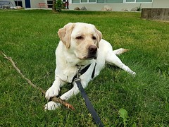 Gracie relaxing on the grass (walneylad) Tags: gracie dog canine pet puppy lab labrador labradorretriever cute may spring afternoon loutetpark sutherlandsecondaryschool
