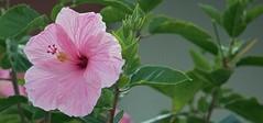 Pink Hibiscus (ACEZandEIGHTZ) Tags: hibiscus pink closeup nikon d3200 bokeh coth alittlebeauty coth5