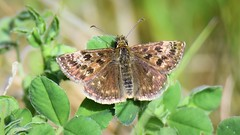 Dingy Skipper (doranstacey) Tags: nature wildlife insects moths butterflies kiveton woodland tamron 150600mm nikon d5300 macro macrophotography dingy skipper