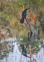 Perched Anhinga Reflection (tclaud2002) Tags: anhinga nird wildlife reflectionreflect water marsh nature mothernature outdoors cypresscreek naturalarea cypresscreeknaturalarea jupiter florida usa