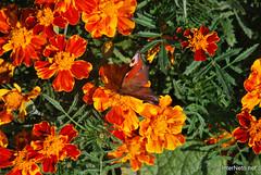 Квіти Чорнобривці InterNetri Ukraine 37