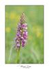 Hybride Orchis militaris et Orchis anthropophora (Mig 74) Tags: hybride orchismilitaris orchisanthropophora orchidées orchidales orchidaceae végétaux 74 publier flickr lieux