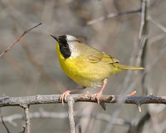 2018-05-01 Montrose Point 7 (JanetandPhil) Tags: 2018naturepreservesvariouslocations birds montrosepointbirdsanctuary lincolnpark chicagoparkdistrict chicagoil male commonyellowthroatwarbler geothlypistrichas