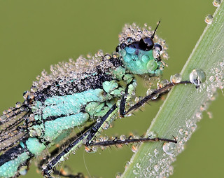 Dew covered Blue-tailed damselfly