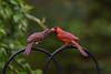 Rainy Day Romance (dbifulco) Tags: noca nature behavior bird courtship female male newjersey northerncardinal pair pairfeeding rain wildlife