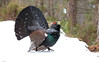 Capercaillie (Chas Moonie-Wild Photography) Tags: capercaillie grouse wild scotland cock male pine forest ngc