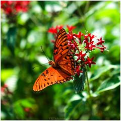 #Butterfly during Fall Season #Nectar (~VKD~) Tags: ef100mm canon7dmkii nectar butterfly macrophotography igbestmacros fallseason autumn colors brightnshine bright photography photostream nature macro flower