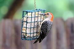 Red-bellied Woodpecker Lunch 5.20.18 (Gene Ellison) Tags: bird woodpecker suet feeder redhead feathers