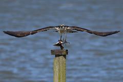 Taking Flight. (stonefaction) Tags: osprey birds nature wildlife eden estuary guardbridge fife scotland