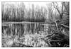 Just a pool (Theo Bauhuis) Tags: westervoort poel uiterwaarden water monochrome zwartwit blackwhite bw trunk reflection reflectie boomstam