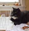 Batman (1 of 4) (rootcrop54) Tags: batman tuxedo male cat polydactyl extratoes dishdrainer white whiskers neko macska kedi 猫 kočka kissa γάτα köttur kucing gatto 고양이 kaķis katė katt katze katzen kot кошка mačka gatos maček kitteh chat ネコ